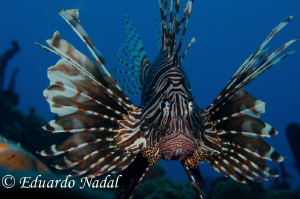 lionfish by Eduardo Nadal 